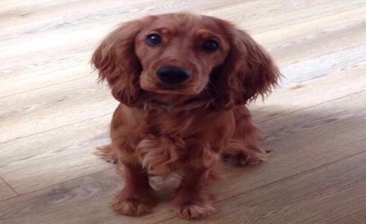 Injured dog missing in West Swindon area